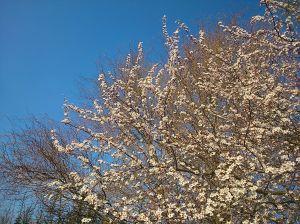 printemps-blanc-plafraise