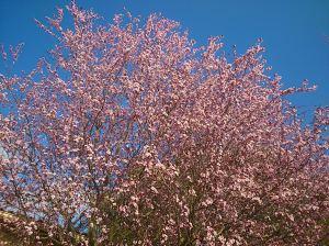 printemps-rose-Plafraise
