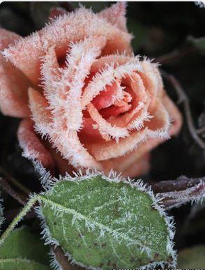 rose-the-givree